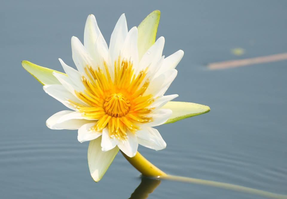 Flower at Lake Peten Itza, Petén, Guatemala -