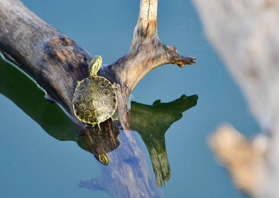 Turtle at Lake Peten Itza, Petén, Guatemala