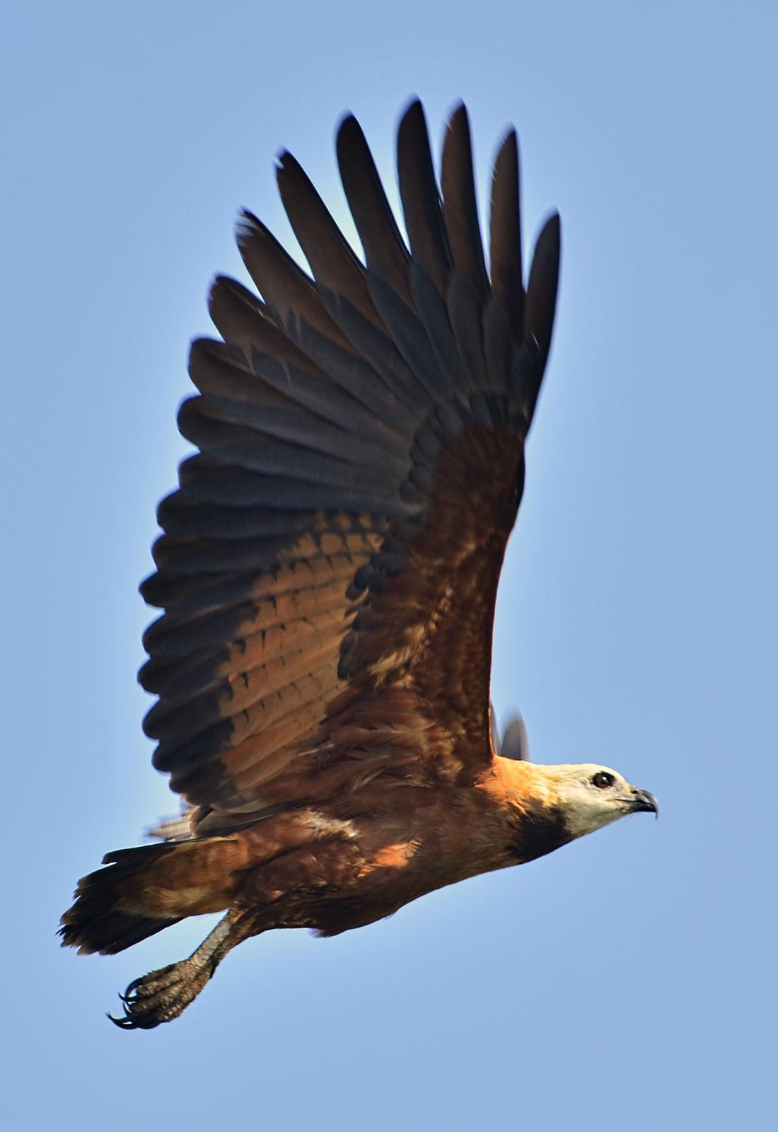 Águila Canela en el Pucté