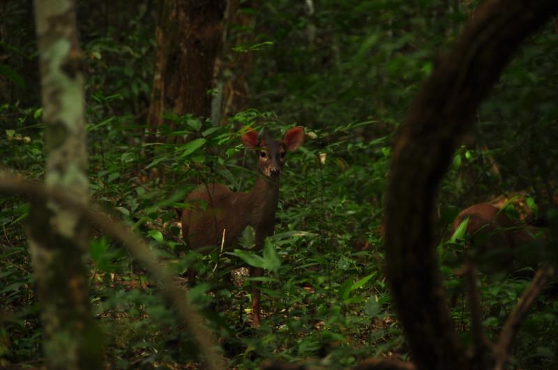 Deer at El Mirador