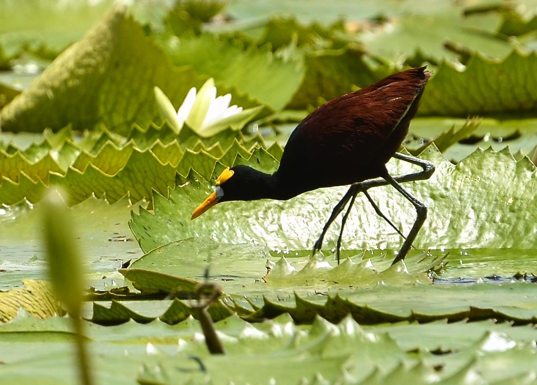 Jacana en el Lago Petén Itzá