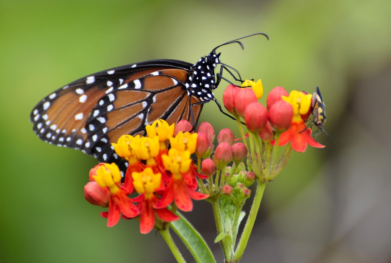 Mariposa en Sayaxché