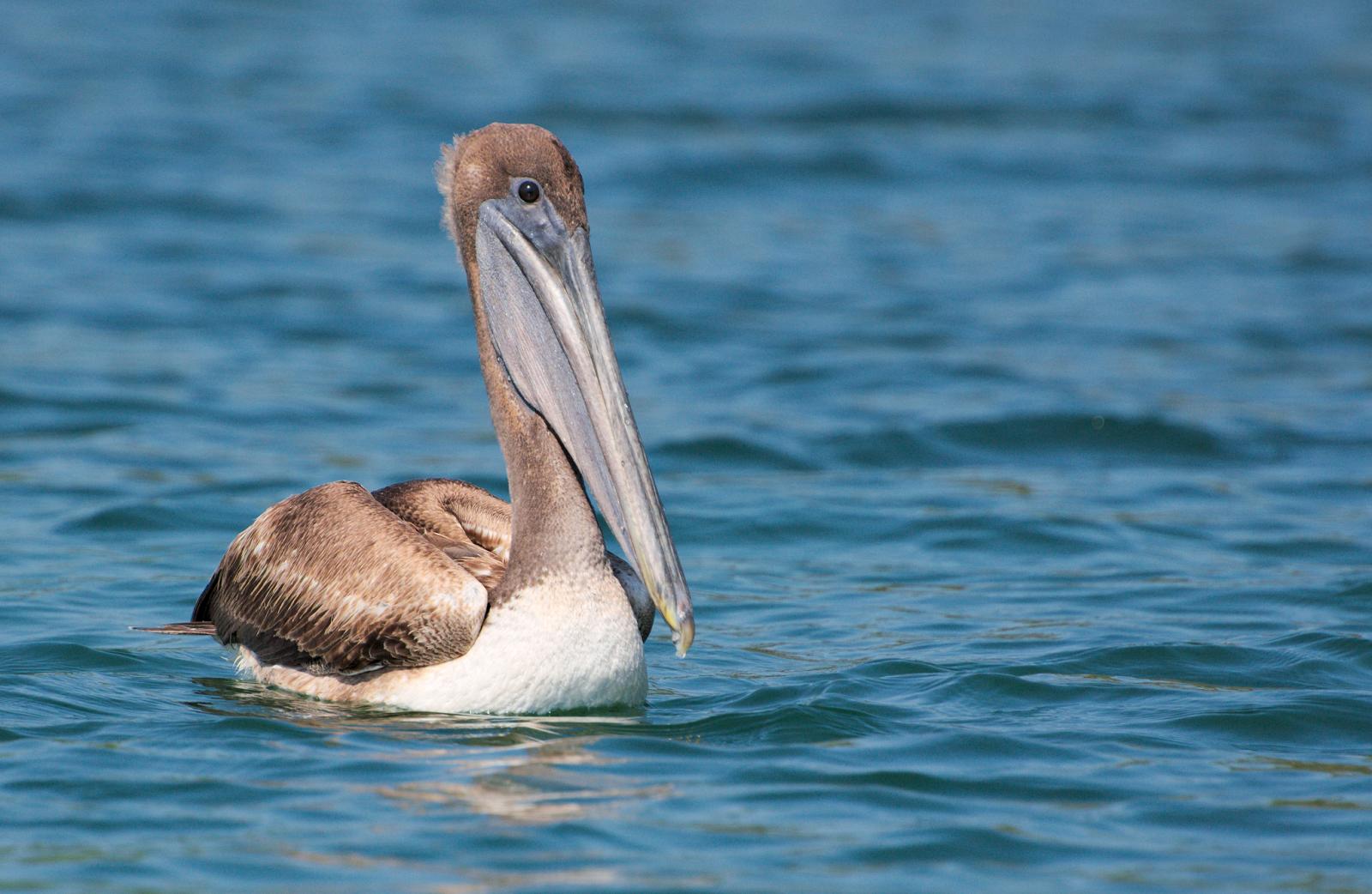 Pelícano pardo en el Lago