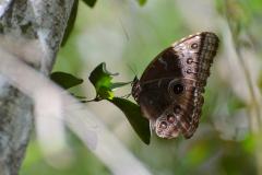 Gran mariposa Azul camino a Nakúm