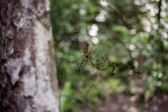 Spider at El Mirador, Petén
