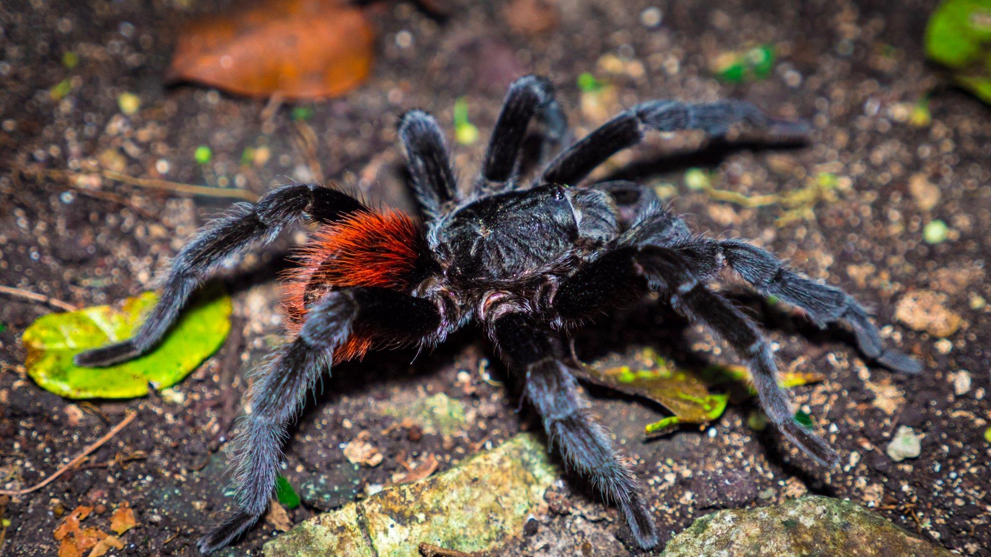 Tarantula at El Mirador