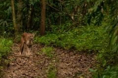 Mountain Lion, Panthera Concolor.