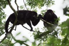 Monos Saraguates en Yaxhá